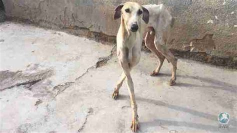 16 Greyhounds Used For Hunting Are Rescued From Neglect