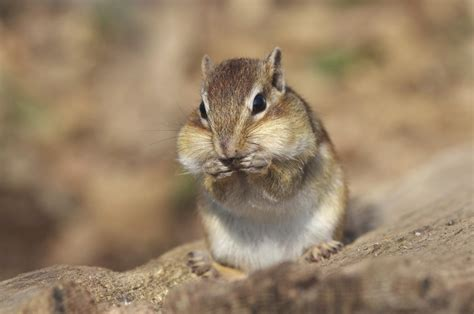 How Exactly is a Chipmunk Different from a Squirrel?