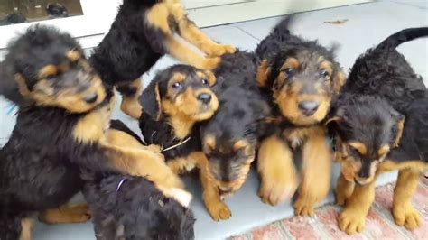 Airedale Terrier Puppies for Sale - S & S Family Airedales