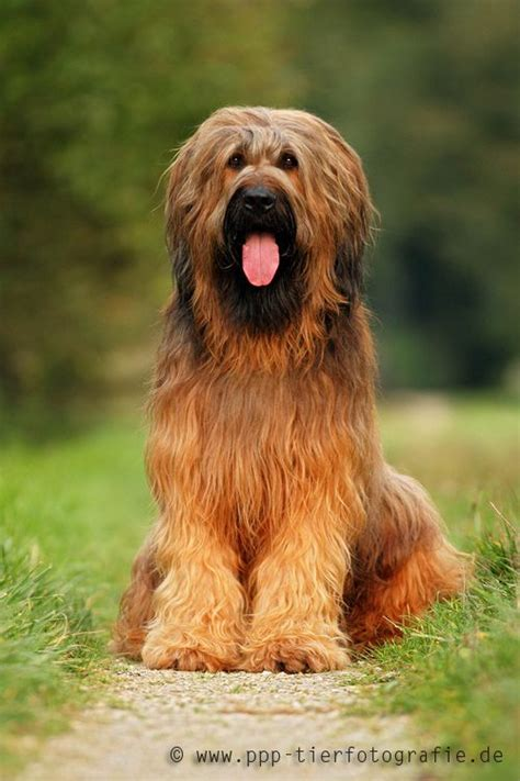 Briard sitting on the way in autumn | Dog breeds, Dogs