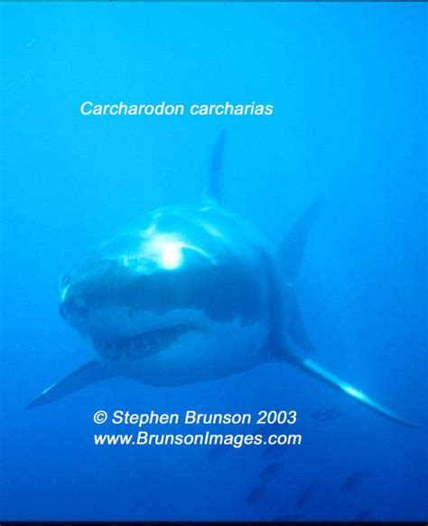 Underwater Photography of Great White Sharks, Carcharodon