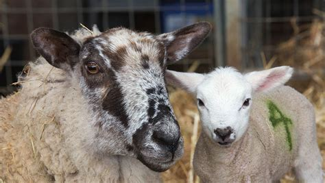 High lambing losses likely to support fat price for longer