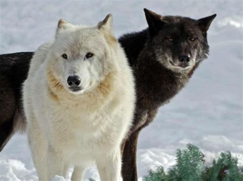 Which Type Of Wolf Are You? | Playbuzz