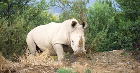 The Potential Extinction of Northern White Rhinos
